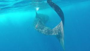Requin-baleine1