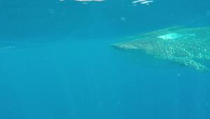 Requin-baleine2